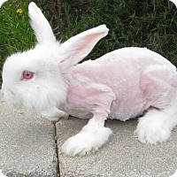 Adopt A Pet :: Cotton Candy - Bonita, CA