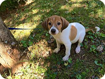 Beagle/Chihuahua Mix Puppy for adoption in Washington, D.C. - Charlie (rbf)