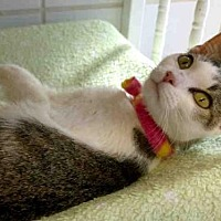 Domestic Mediumhair Cat for adoption in Canfield, Ohio - VIVIAN