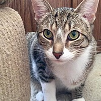 American Shorthair Cat for adoption in Toms River, New Jersey - Carmine