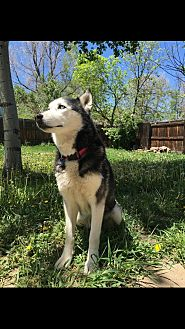 Husky Mix Dog for adoption in Denver, Colorado - Ruby