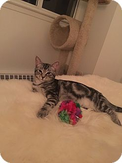 Domestic Shorthair Kitten for adoption in THORNHILL, Ontario - HILDA