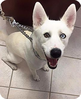 Siberian Husky Mix Dog for adoption in Clearwater, Florida - Bolt