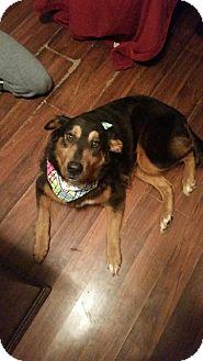 Shepherd (Unknown Type) Mix Dog for adoption in South Park, Pennsylvania - Yogi