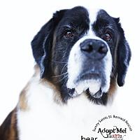 Adopt A Pet :: Bear (Barringer) - Bellflower, CA