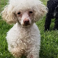 Miniature Poodle Dog for adoption in Decatur, Indiana - Peaches