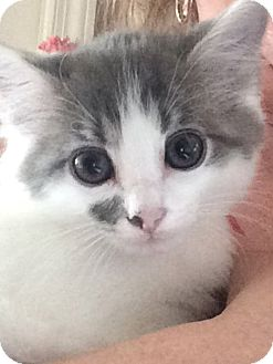 Domestic Shorthair Kitten for adoption in Chattanooga, Tennessee - Ena