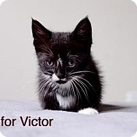 Adopt A Pet :: V for Victor - Philadelphia, PA