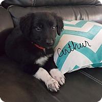 Adopt A Pet :: Puppy Arthur - Brattleboro, VT