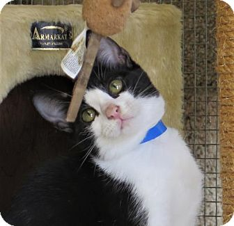 Domestic Shorthair Cat for adoption in Gonzales, Texas - Marlowe