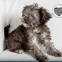 Adopt A Pet :: Ewok - Inglewood, CA