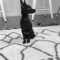 Adopt A Pet :: Stella - Encino, CA