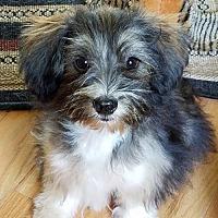 Adopt A Pet :: Lilly - New City, NY