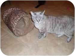 Siamese Cat for adoption in Hamburg, New York - Zipper