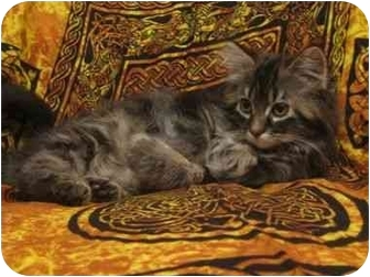 Domestic Longhair Kitten for adoption in Spruce Grove, Alberta - Tofu