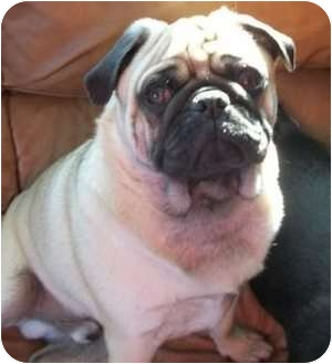 Pug Dog for adoption in Hinckley, Minnesota - Benny