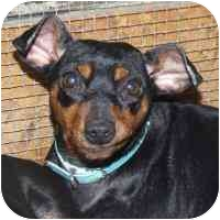 Miniature Pinscher Mix Dog for adoption in Coleraine, Minnesota - Rosy