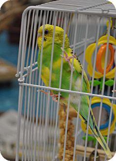 Budgie for adoption in Lenexa, Kansas - Winky
