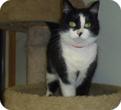 Domestic Shorthair Cat for adoption in Hamburg, New York - Angie