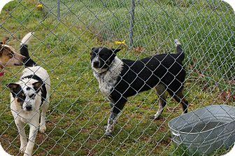 Border Collie/Australian Cattle Dog Mix Puppy for adoption in Conway, Arkansas - Bandyt