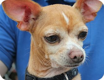 Chihuahua Mix Dog for adoption in Grants Pass, Oregon - Tank