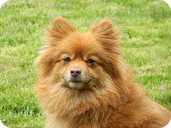 Pomeranian Dog for adoption in Conesus, New York - Baby