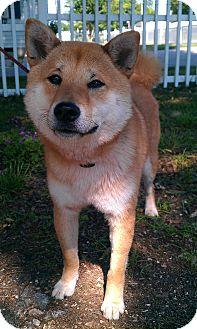 Shiba Inu Mix Puppy for adoption in Manassas, Virginia - Yuji
