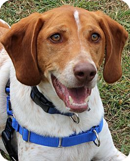 Hound (Unknown Type) Mix Dog for adoption in Richmond, Virginia - Snoopy