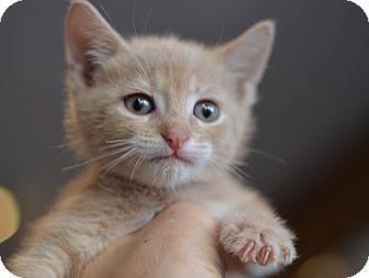 Domestic Shorthair Kitten for adoption in Brooklyn, New York - Nutmeg