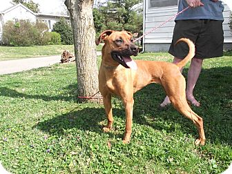 Boxer/Great Dane Mix Dog for adoption in Rochester, New York - Bangle