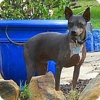 Adopt A Pet :: Brodie - Oklahoma City, OK