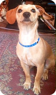 Dachshund/Chihuahua Mix Dog for adoption in CHICAGO, Illinois - HAROLD