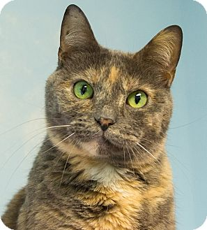 Domestic Shorthair Cat for adoption in Seville, Ohio - Dory