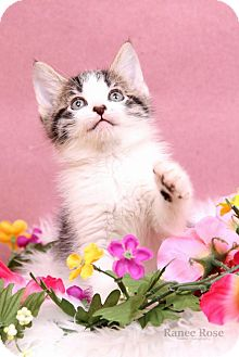 Domestic Shorthair Kitten for adoption in Sterling Heights, Michigan - Corey -ADOPTED
