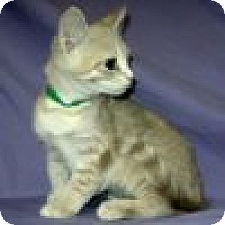 Domestic Shorthair Cat for adoption in Powell, Ohio - Peyton