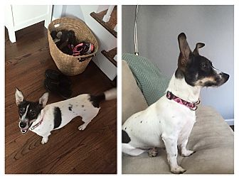 Jack Russell Terrier/Rat Terrier Mix Dog for adoption in Newtown, Connecticut - Maggie