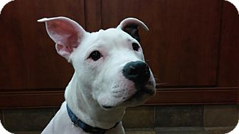 American Staffordshire Terrier Mix Puppy for adoption in Rochester Hills, Michigan - Frankie