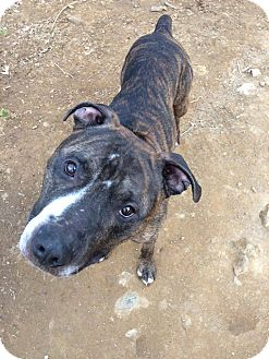 American Pit Bull Terrier Mix Dog for adoption in Broadway, New Jersey - Mufasa