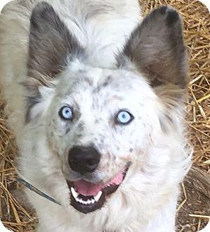 Australian Shepherd/Australian Cattle Dog Mix Dog for adoption in Hagerstown, Maryland - Cody