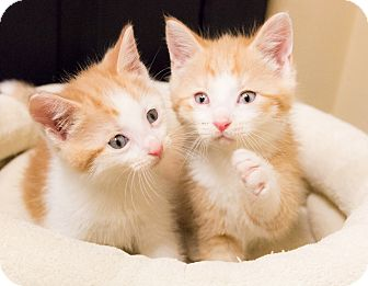 Domestic Shorthair Kitten for adoption in Chicago, Illinois - Cyril & Ray
