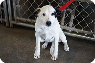 Terrier (Unknown Type, Medium) Mix Dog for adoption in Waldron, Arkansas - BAILEY (URGENT HIGH KILL SHELTER WALDRON ARKANSAS)