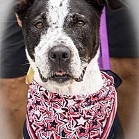 American Staffordshire Terrier Mix Dog for adoption in Dawson, Georgia - Minnie