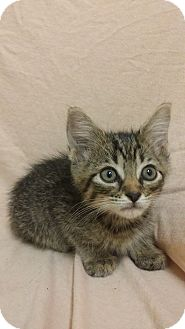 Domestic Shorthair Kitten for adoption in Cannelton, Indiana - Cosmo