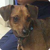 Adopt A Pet :: Bones - Jupiter, FL