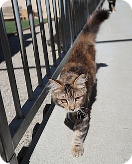 Maine Coon Cat for adoption in San Pablo, California - SIMBA