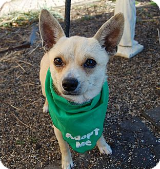 Chihuahua Mix Dog for adoption in Wilmington, Delaware - Astro