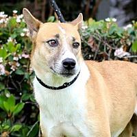 Basenji/Australian Cattle Dog Mix Dog for adoption in San Diego, California - Malificent
