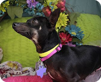Chihuahua/Dachshund Mix Dog for adoption in San Antonio, Texas - Friona