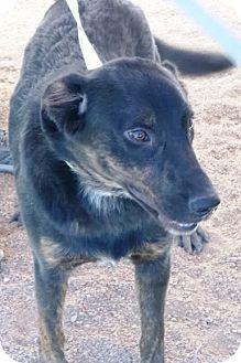 Shepherd (Unknown Type) Mix Puppy for adoption in Las Vegas, Nevada - Prince