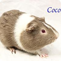 Adopt A Pet :: Cocoa - Bradenton, FL